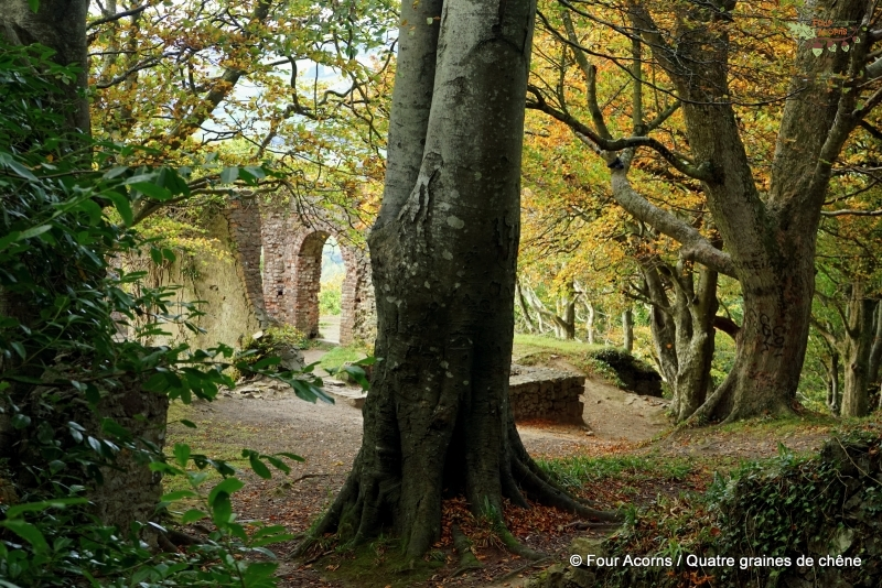 Octagon-trees-autumn-Wicklow-trees