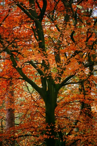autumn-leaves-tree-orange-season