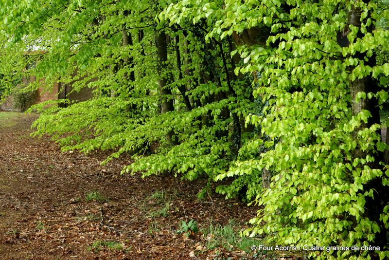 foraging-wicklow-avondale-beech-leaves