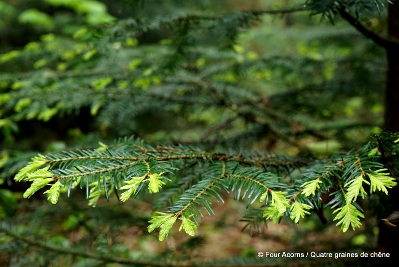 foraging-wicklow-wild-food-pine-tips