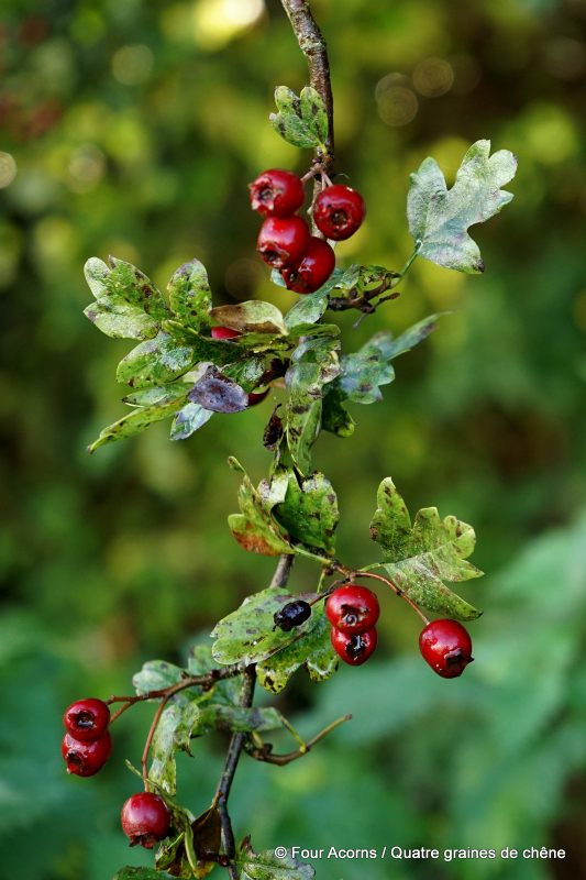 hawthorn-wild-food-foraging