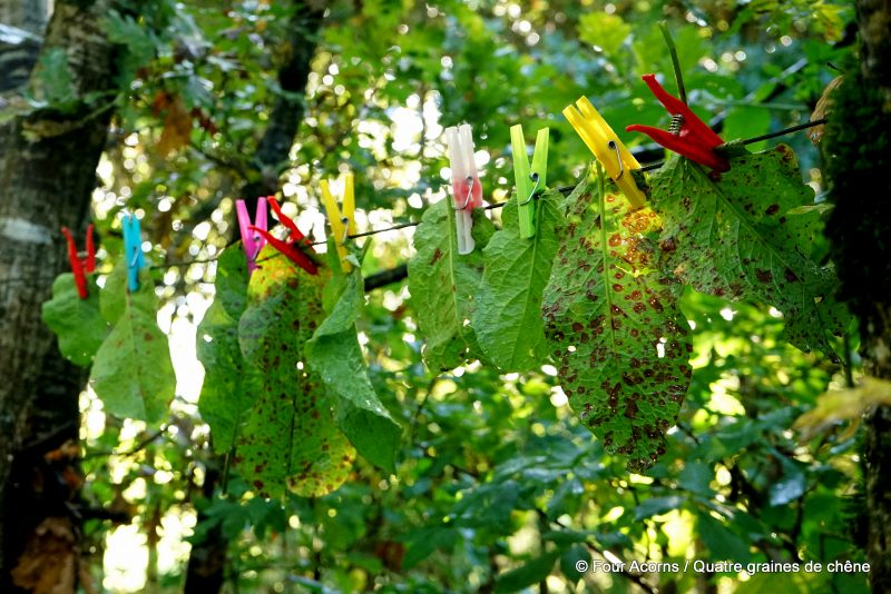 dock-leaves-foraging-wild