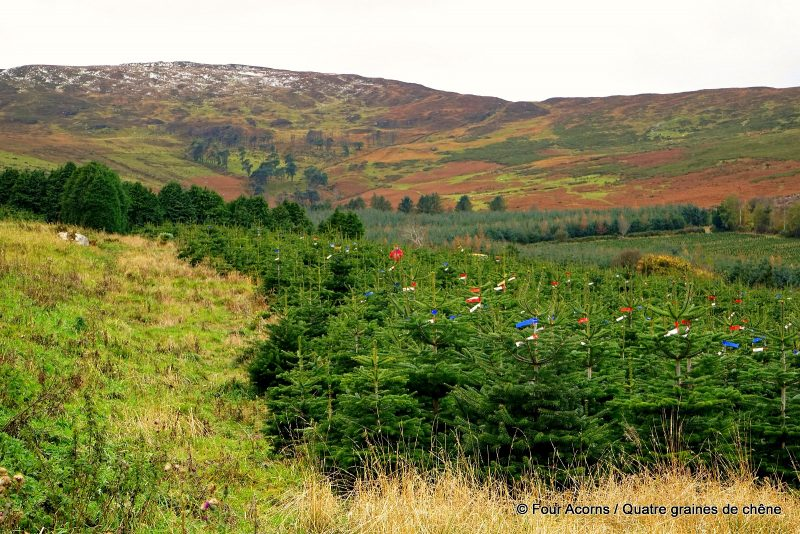 field-Christmas-trees-Wicklow-Ireland
