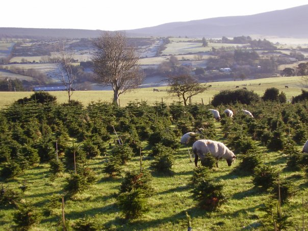 @ Slade Valley Christmas Tree Farm