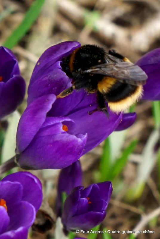 Kilmacurragh, Wicklow, Ireland, Irlande, botanic garden, jardin botanique, crocus, bumblebee, bourdon