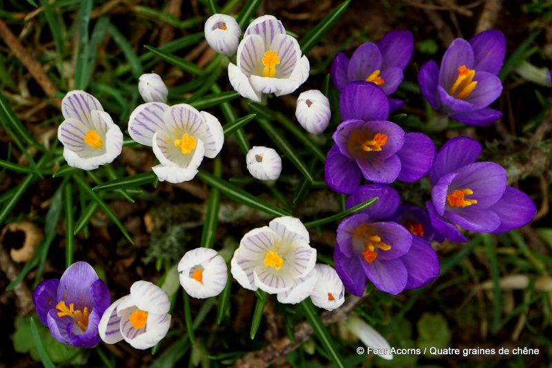 Kilmacurragh, Wicklow, Ireland, Irlande, botanic garden, jardin botanique, crocus