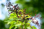 elderberry-autumn-fall-elder-foraging