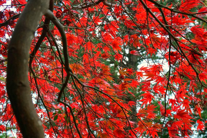 acer-japanese-maple-red-leaves-autumn