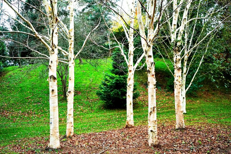 birch-trees-autumn-coours-powerscourt-wicklow