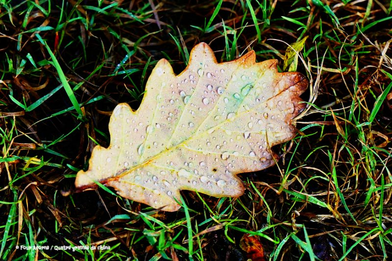 oak-leaf-grass-autumn-brown