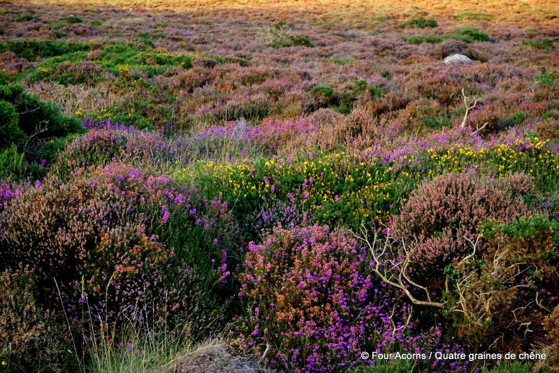 luggala-heather-bloom-wicklow-ireland