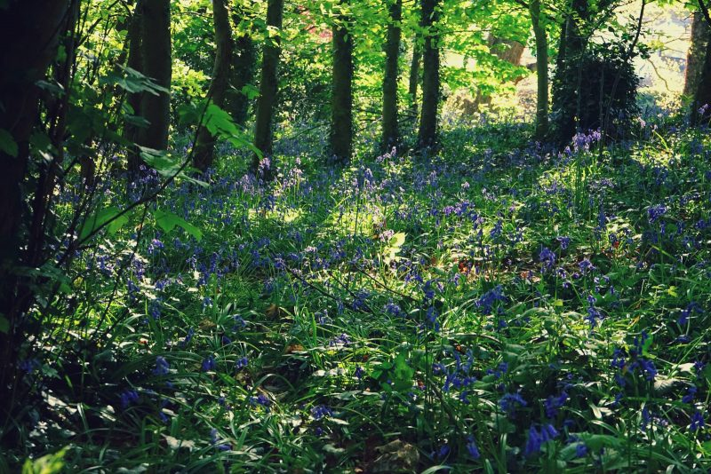 bluebells-kilbroney-rostrevor-meadow-may-spring