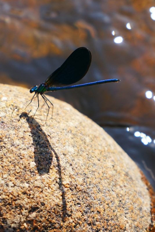 blue-dragonfly-libellule-bleue-haute-loire-france