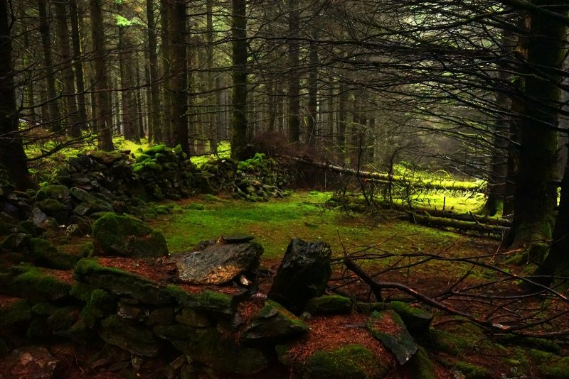 coniferous-plantation-forest-sitka-spruce-wicklow-ireland