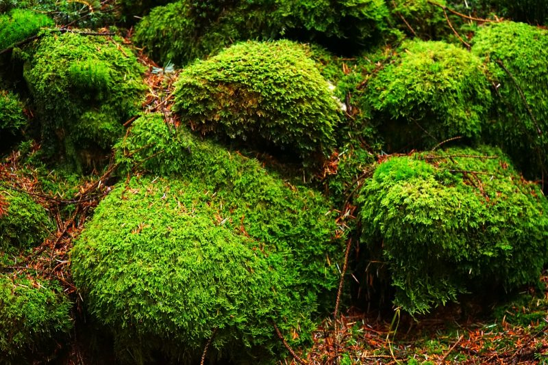 coniferous-plantation-forest-mossy-rocks-wicklow-ireland