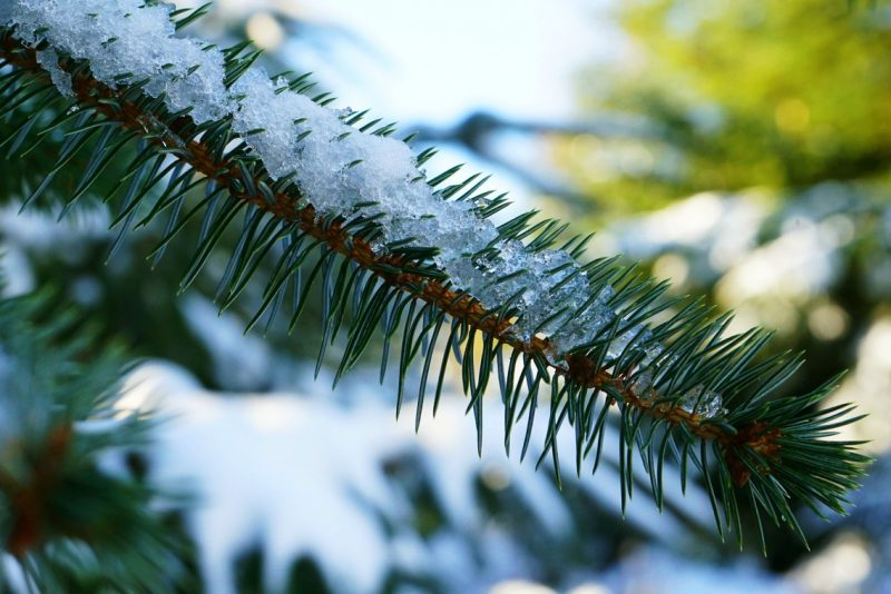 spruce-evergreen-needles-snow-ice