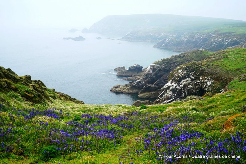 great-saltee-bluebells-wexford-ireland