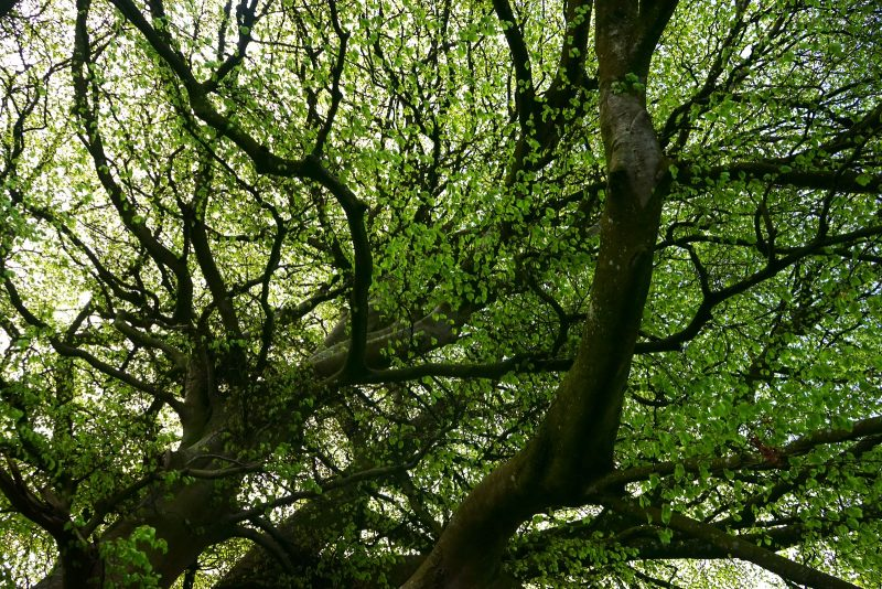 beech-tree-spring-leaves-canopy