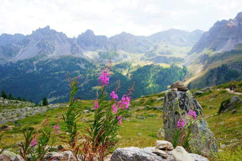 fireweed-french-alps-panorama